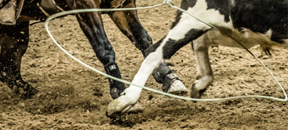 A team roping heeler ropes the steer